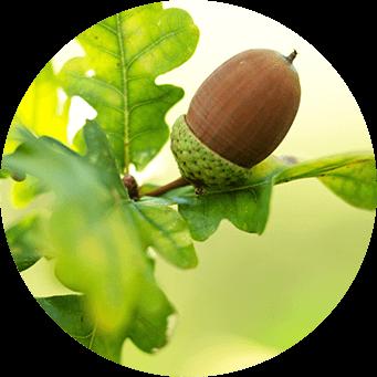 ekträd med löv och ekollon